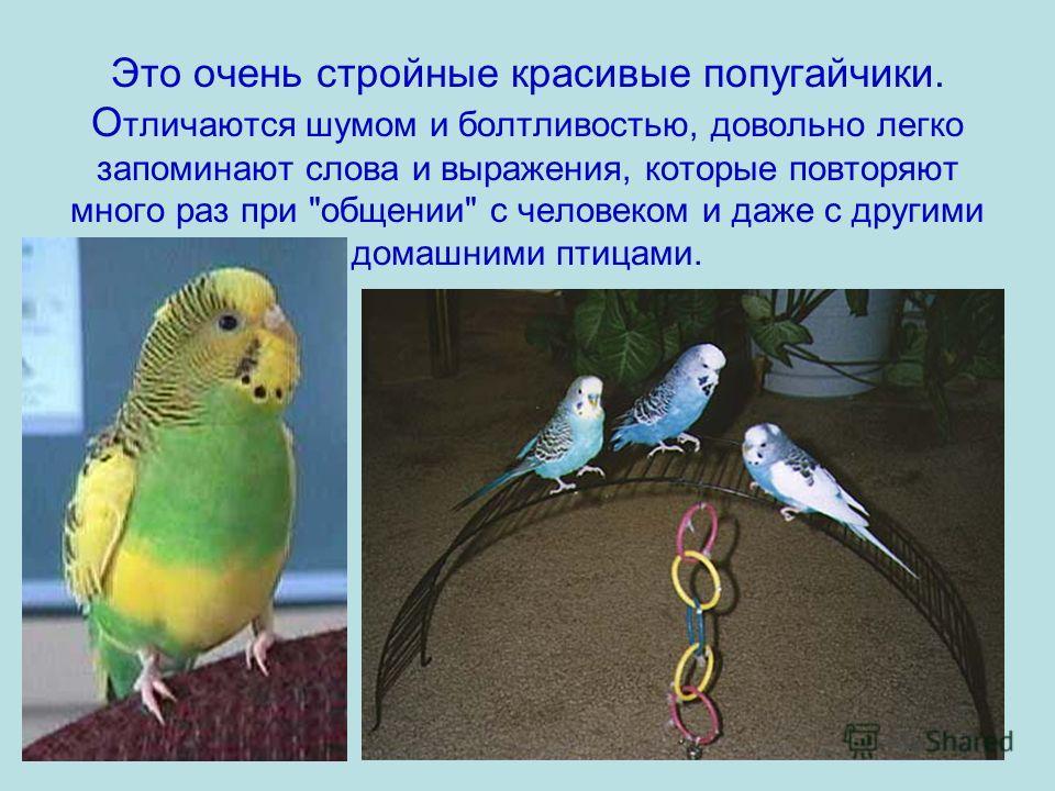 Это очень стройные красивые попугайчики. О тличаются шумом и болтливостью, довольно легко запоминают слова и выражения, которые повторяют много раз при общении с человеком и даже с другими домашними птицами.