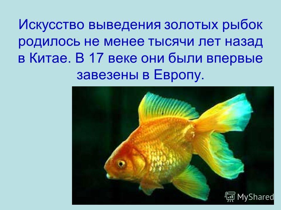 Искусство выведения золотых рыбок родилось не менее тысячи лет назад в Китае. В 17 веке они были впервые завезены в Европу.
