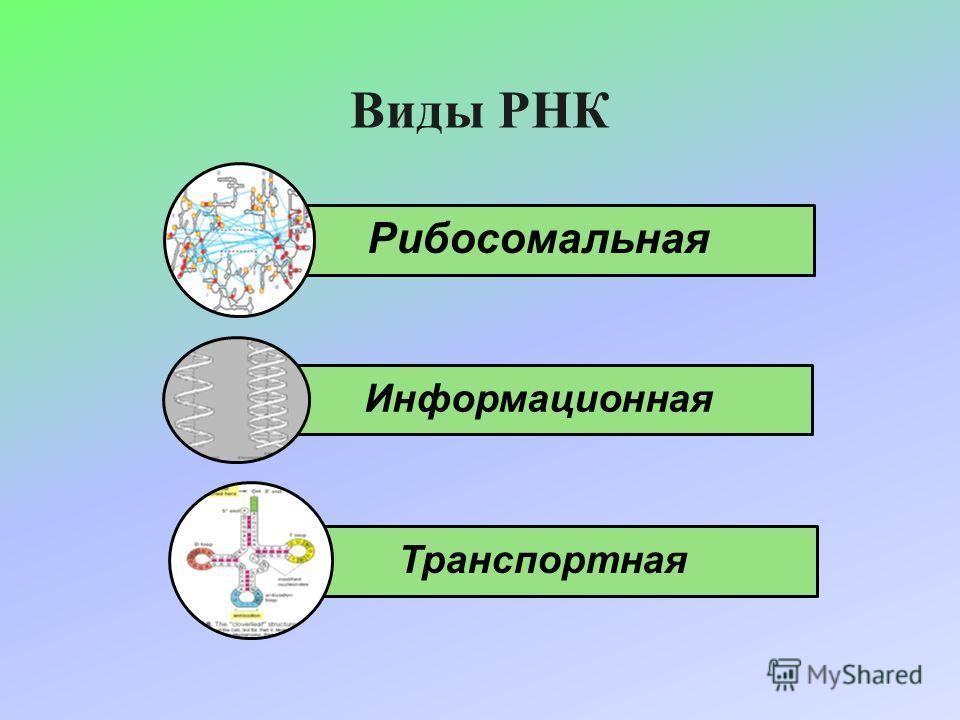 Виды РНК Рибосомальная Информационная Транспортная