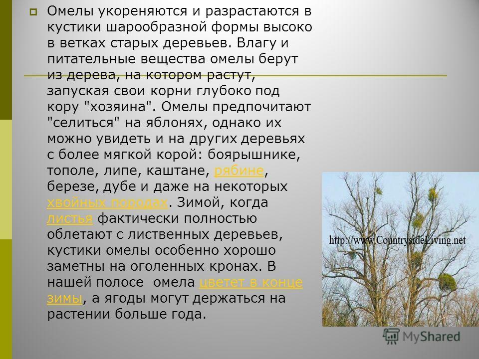Омелы укореняются и разрастаются в кустики шарообразной формы высоко в ветках старых деревьев. Влагу и питательные вещества омелы берут из дерева, на котором растут, запуская свои корни глубоко под кору