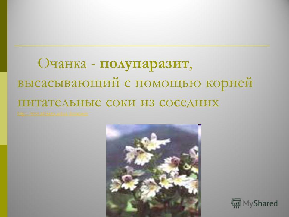 Очанка - полупаразит, высасывающий с помощью корней питательные соки из соседних http://www.adventus.infora/documents http://www.adventus.infora/documents