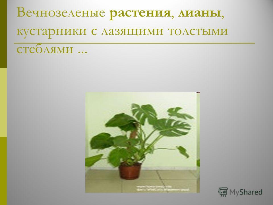 Вечнозеленые растения, лианы, кустарники с лазящими толстыми стеблями...