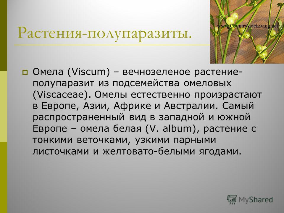 Растения-полупаразиты. Омела (Viscum) – вечнозеленое растение- полупаразит из подсемейства омеловых (Viscaceae). Омелы естественно произрастают в Европе, Азии, Африке и Австралии. Самый распространенный вид в западной и южной Европе – омела белая (V.