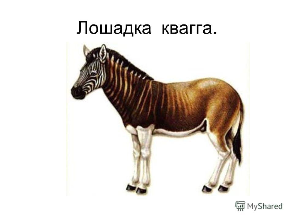 Лошадка квагга.