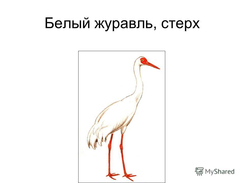 Белый журавль, стерх