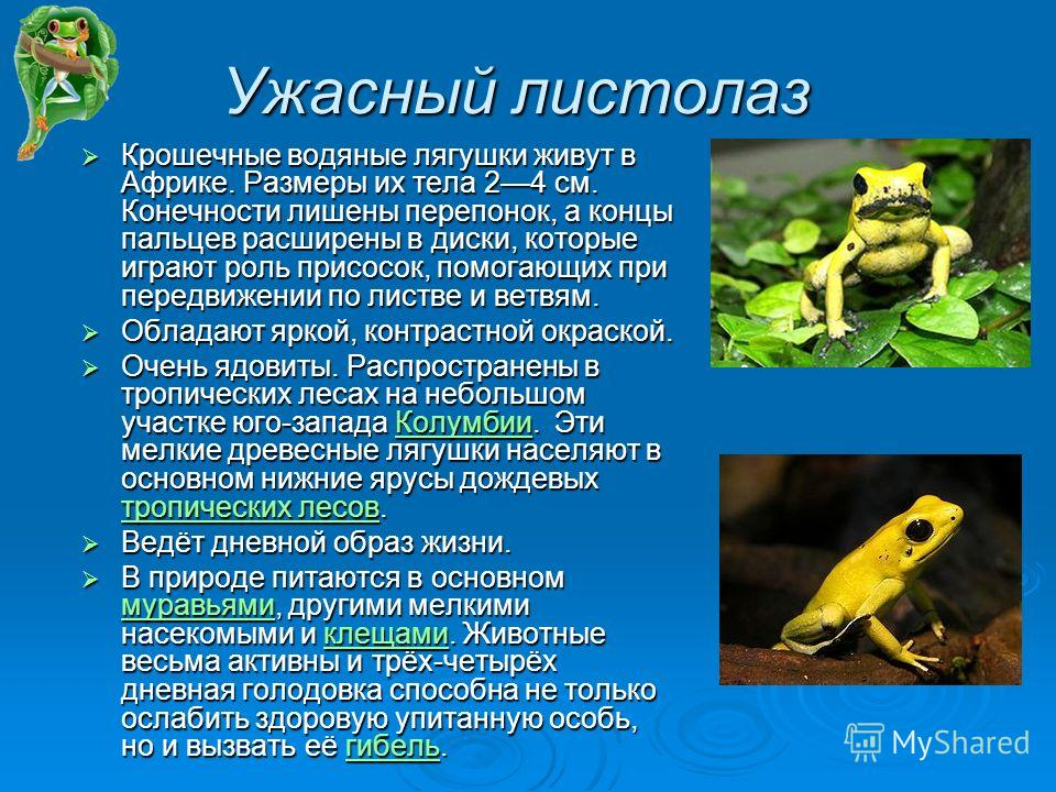 Ужасный листолаз Крошечные водяные лягушки живут в Африке. Размеры их тела 24 см. Конечности лишены перепонок, а концы пальцев расширены в диски, которые играют роль присосок, помогающих при передвижении по листве и ветвям. Крошечные водяные лягушки