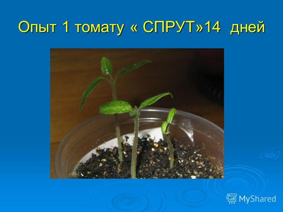 Опыт 1 томату « СПРУТ»14 дней