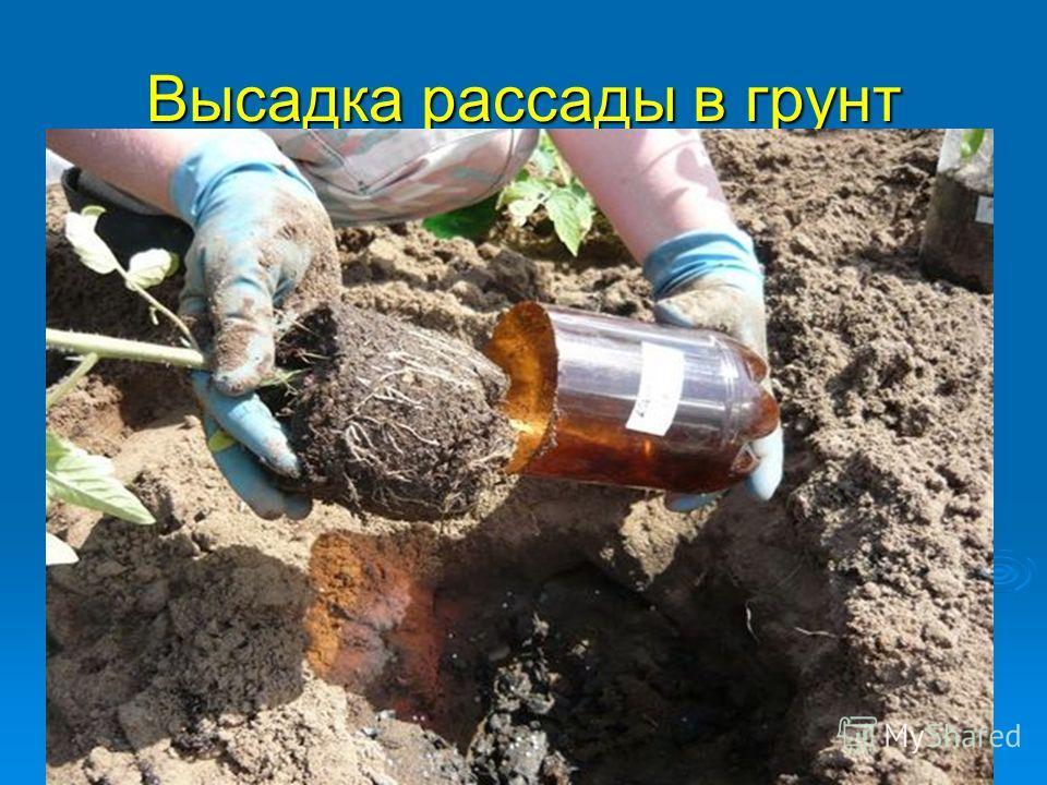 Высадка рассады в грунт