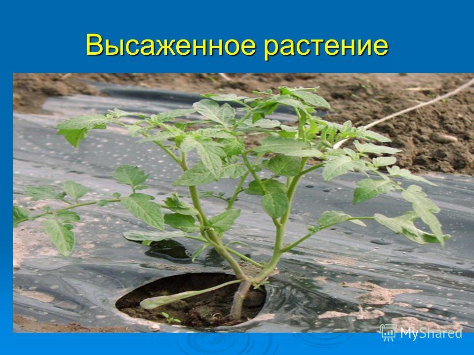 Высаженное растение