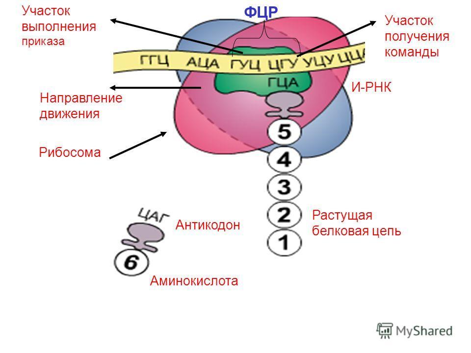 И-РНК Направление движения Участок выполнения приказа Участок получения команды Растущая белковая цепь Рибосома Антикодон Аминокислота ФЦР