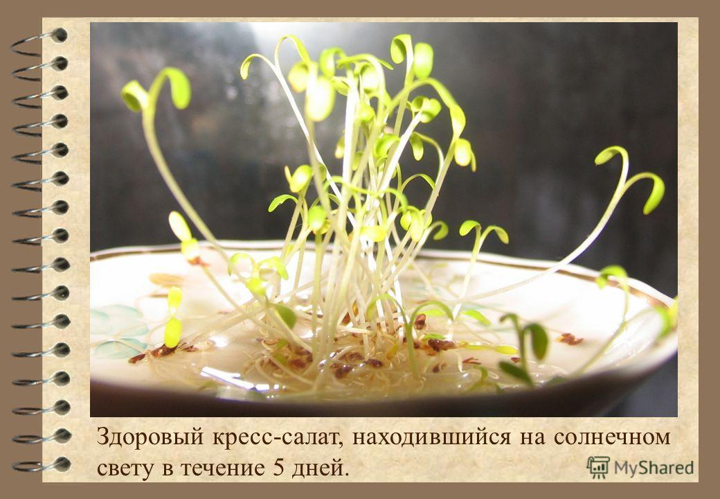 Здоровый кресс-салат, находившийся на солнечном свету в течение 5 дней.