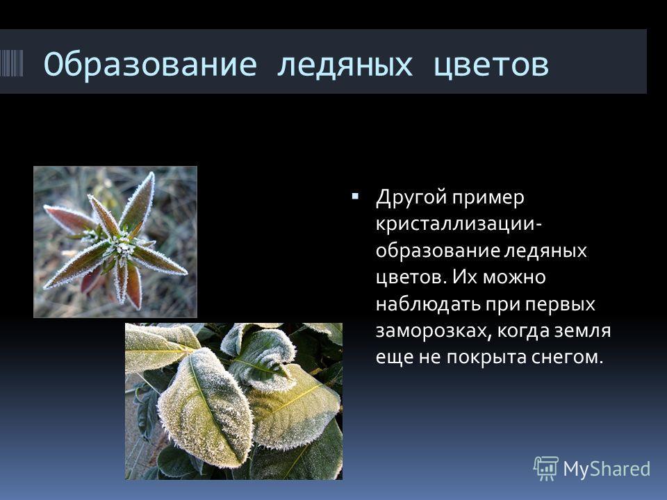 Образование ледяных цветов Другой пример кристаллизации- образование ледяных цветов. Их можно наблюдать при первых заморозках, когда земля еще не покрыта снегом.