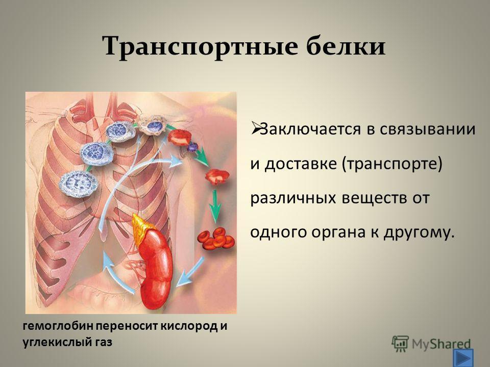 Транспортные белки Заключается в связывании и доставке (транспорте) различных веществ от одного органа к другому. гемоглобин переносит кислород и углекислый газ