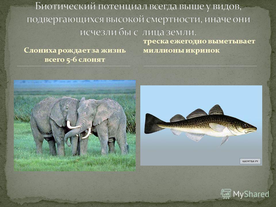 Слониха рождает за жизнь всего 5-6 слонят треска ежегодно выметывает миллионы икринок
