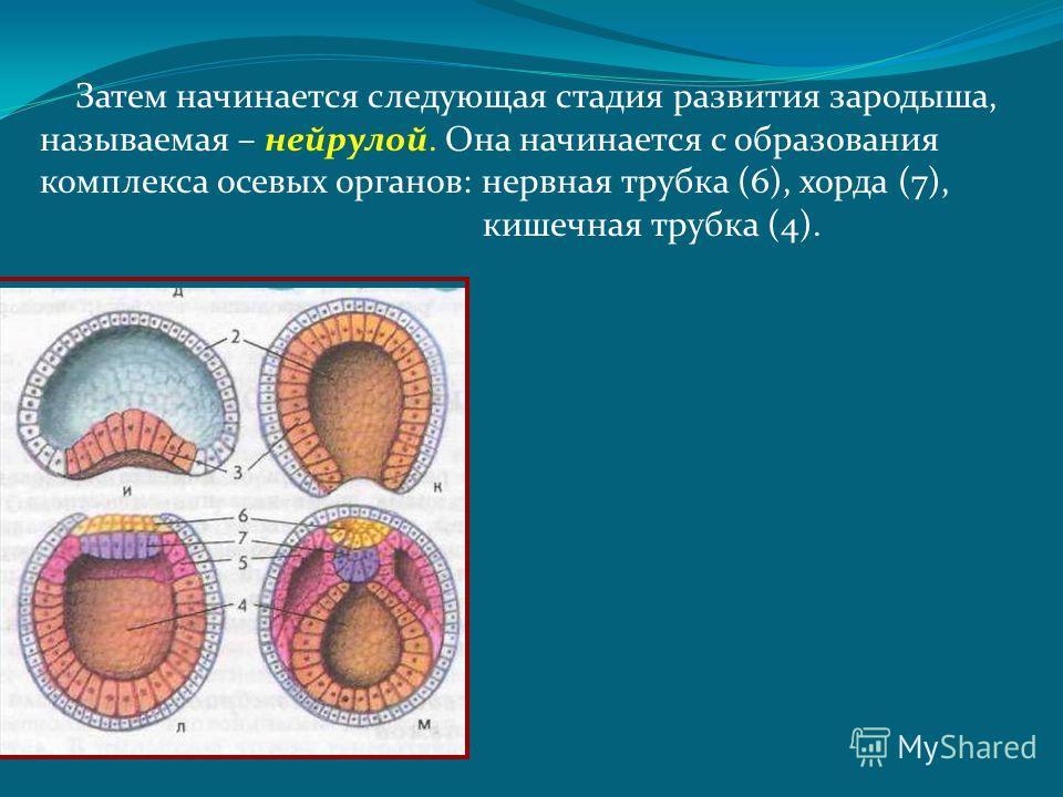 Затем начинается следующая стадия развития зародыша, называемая – нейрулой. Она начинается с образования комплекса осевых органов: нервная трубка (6), хорда (7), кишечная трубка (4).