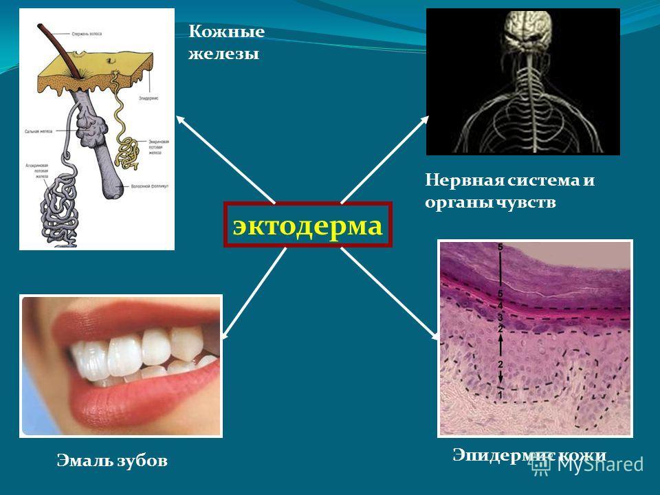 эктодерма Нервная система и органы чувств Эмаль зубов Эпидермис кожи Кожные железы