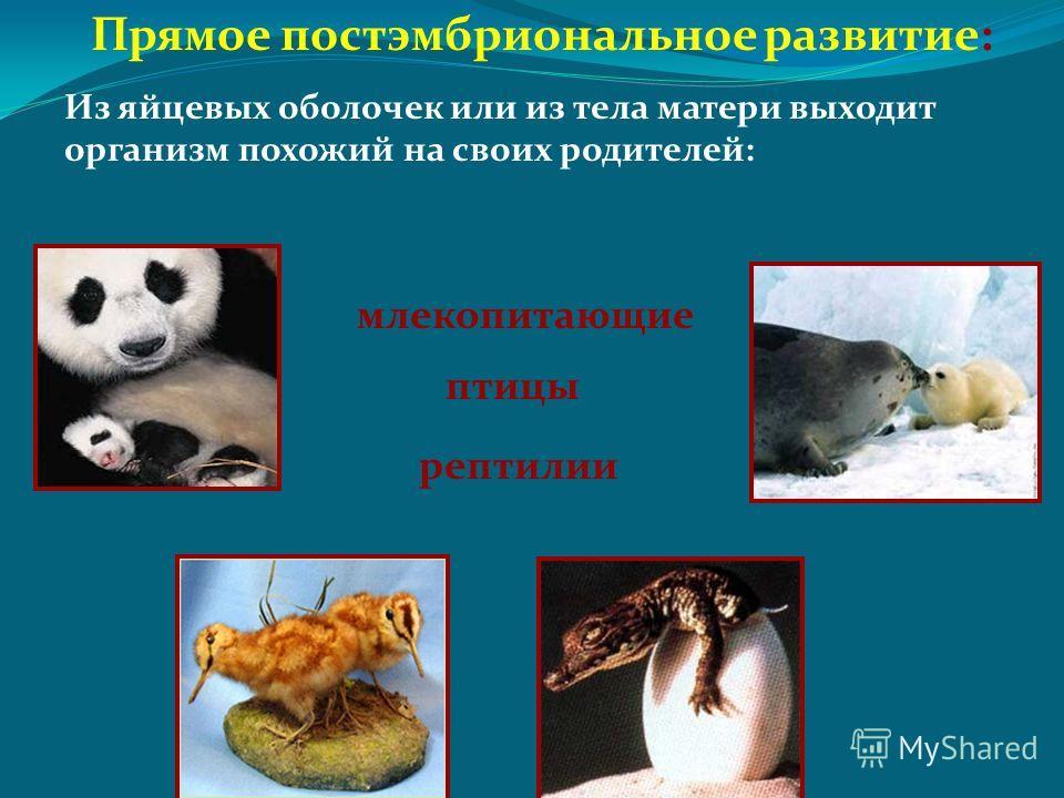 Прямое постэмбриональное развитие: Из яйцевых оболочек или из тела матери выходит организм похожий на своих родителей: млекопитающие рептилии птицы