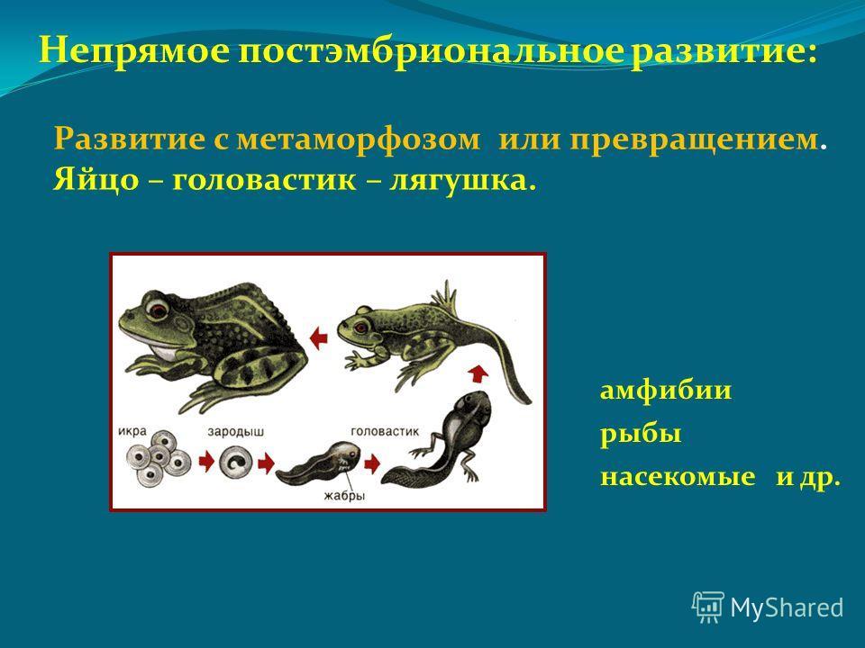 Непрямое постэмбриональное развитие: амфибии рыбы насекомые и др. Развитие с метаморфозом или превращением. Яйцо – головастик – лягушка.