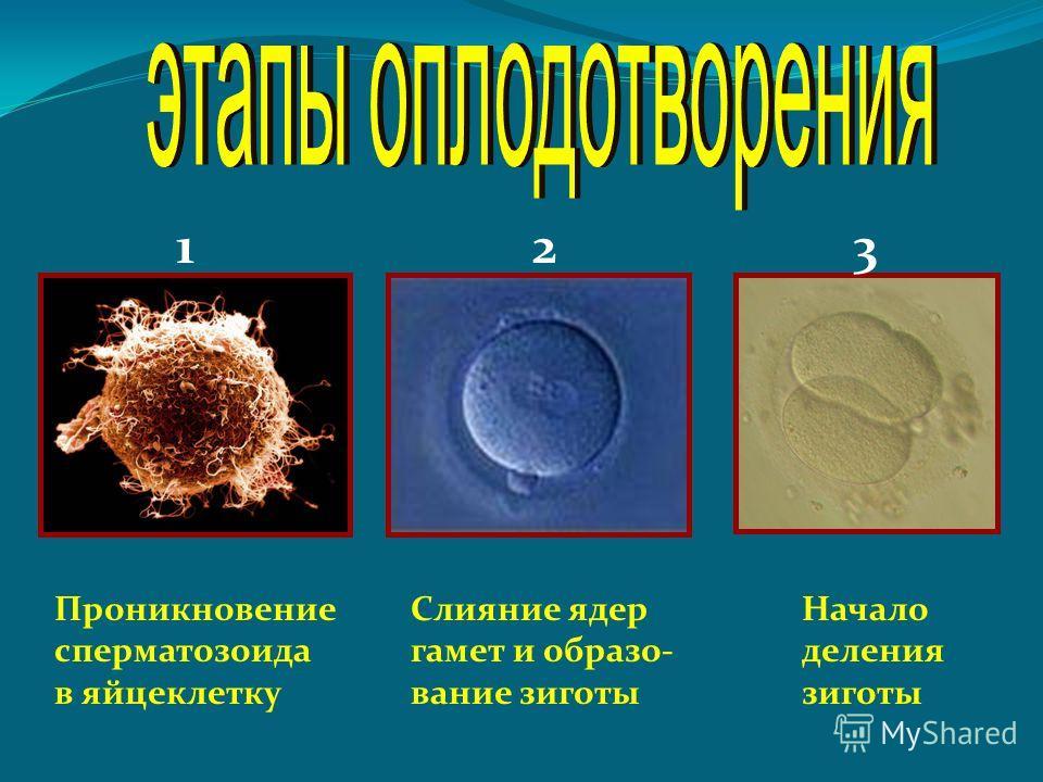 Проникновение сперматозоида в яйцеклетку Слияние ядер гамет и образо- вание зиготы Начало деления зиготы 123