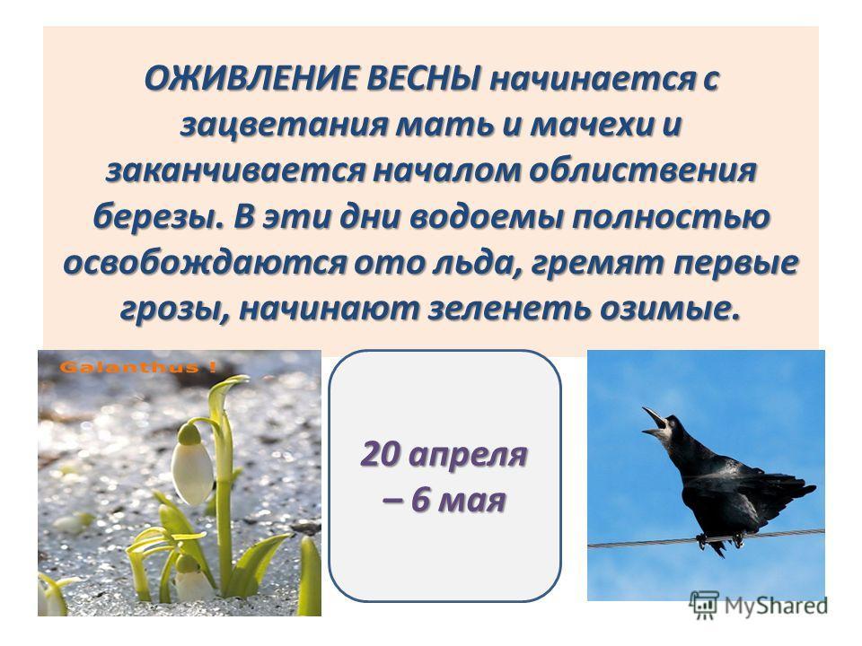 ОЖИВЛЕНИЕ ВЕСНЫ начинается с зацветания мать и мачехи и заканчивается началом облиствения березы. В эти дни водоемы полностью освобождаются ото льда, гремят первые грозы, начинают зеленеть озимые. 20 апреля – 6 мая