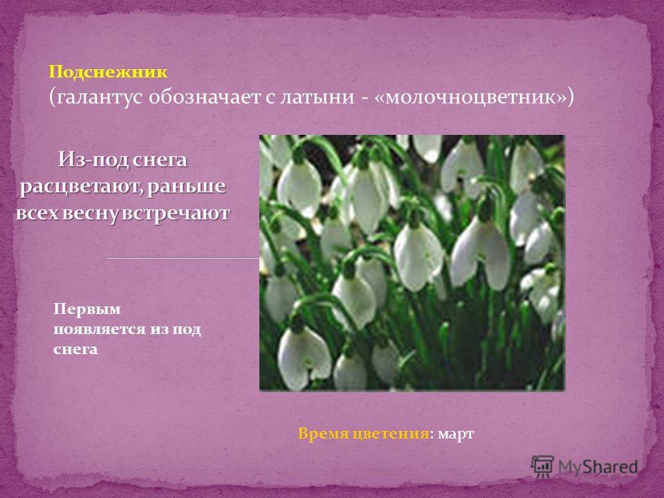 Пп Подснежник (галантус обозначает с латыни - «молочноцветник») Первым появляется из под снега Время цветения: март