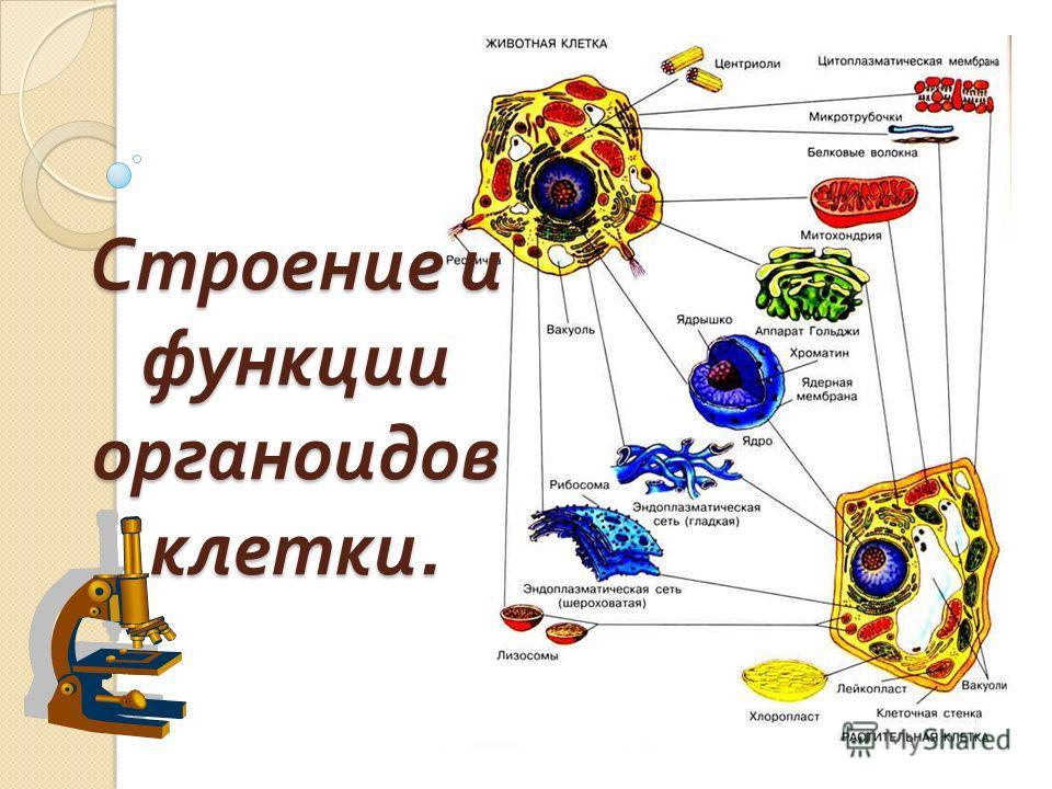 Строение и функции органоидов клетки.