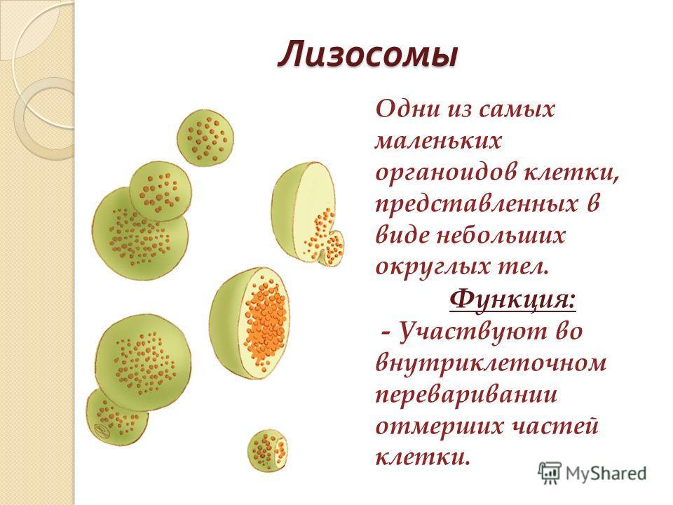 Лизосомы Одни из самых маленьких органоидов клетки, представленных в виде небольших округлых тел. Функция: - Участвуют во внутриклеточном переваривании отмерших частей клетки.