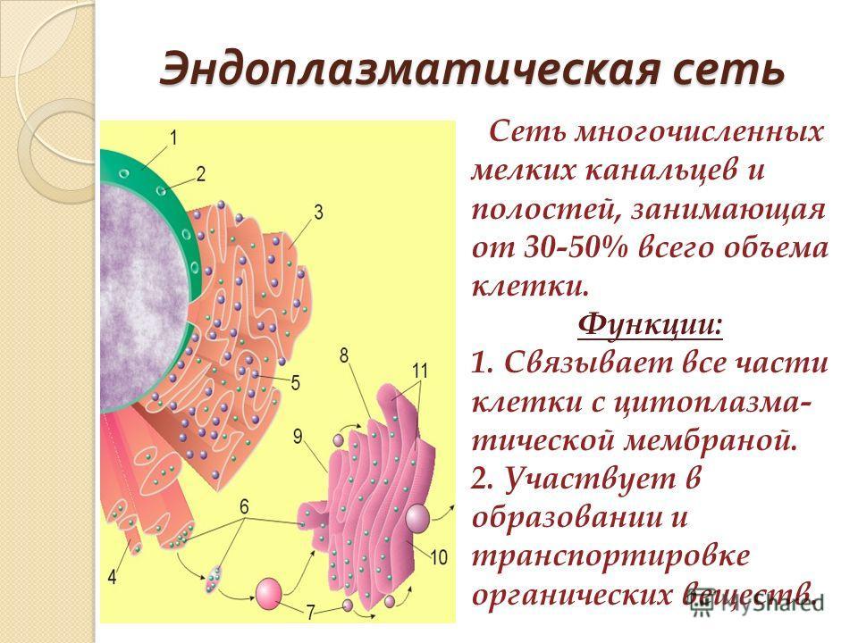 Эндоплазматическая сеть Сеть многочисленных мелких канальцев и полостей, занимающая от 30-50% всего объема клетки. Функции: 1. Связывает все части клетки с цитоплазма- тической мембраной. 2. Участвует в образовании и транспортировке органических веще