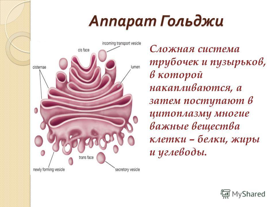 Аппарат Гольджи Сложная система трубочек и пузырьков, в которой накапливаются, а затем поступают в цитоплазму многие важные вещества клетки – белки, жиры и углеводы.