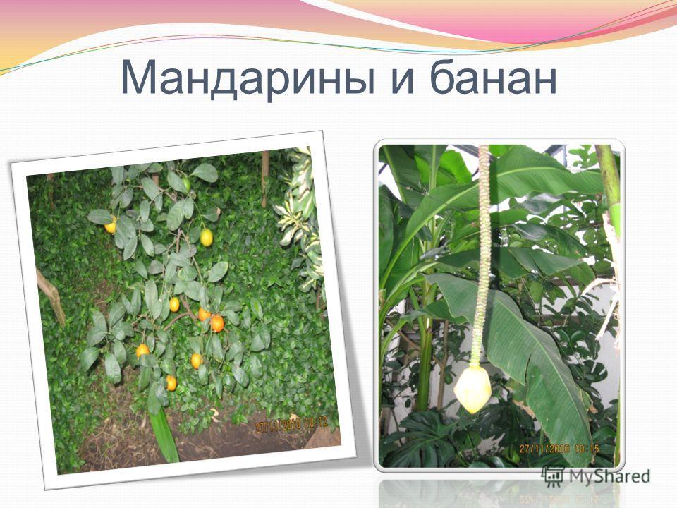 Мандарины и банан