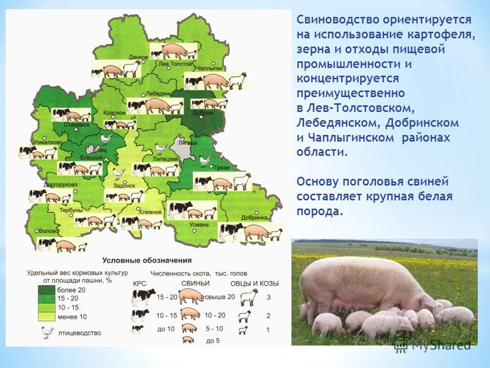 Свиноводство ориентируется на использование картофеля, зерна и отходы пищевой промышленности и концентрируется преимущественно в Лев-Толстовском, Лебедянском, Добринском и Чаплыгинском районах области. Основу поголовья свиней составляет крупная белая