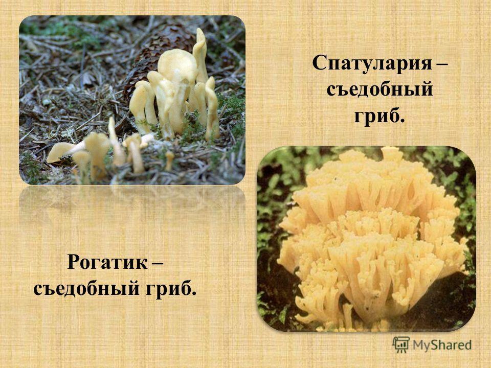 Спатулария – съедобный гриб. Рогатик – съедобный гриб.