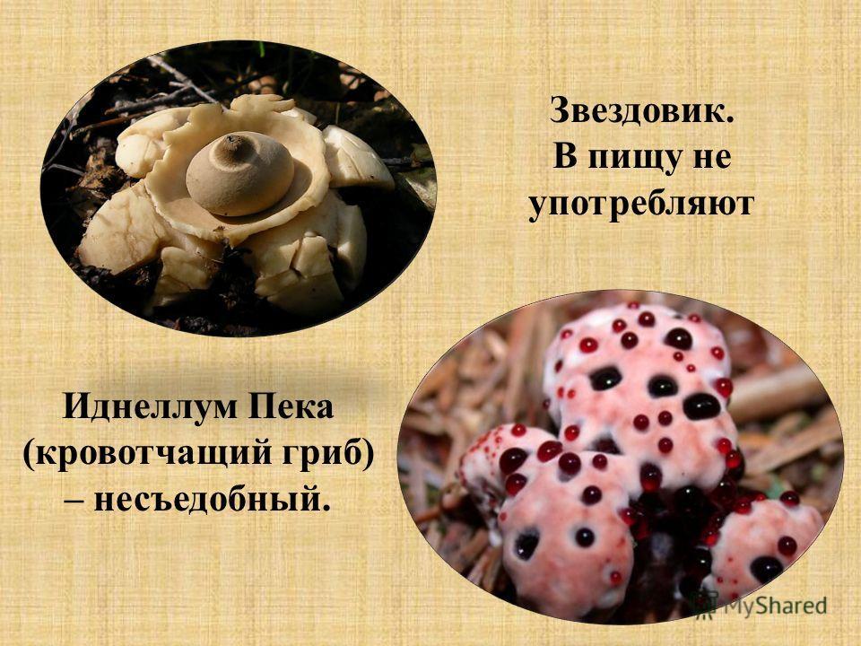 Звездовик. В пищу не употребляют Иднеллум Пека (кровотчащий гриб) – несъедобный.