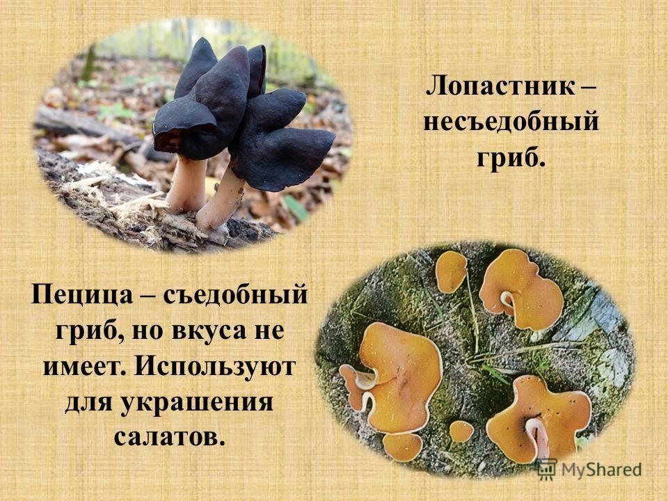 Лопастник – несъедобный гриб. Пецица – съедобный гриб, но вкуса не имеет. Используют для украшения салатов.