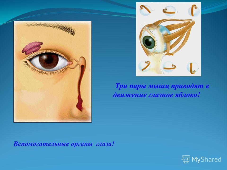 Вспомогательные органы глаза! Три пары мышц приводят в движение глазное яблоко!