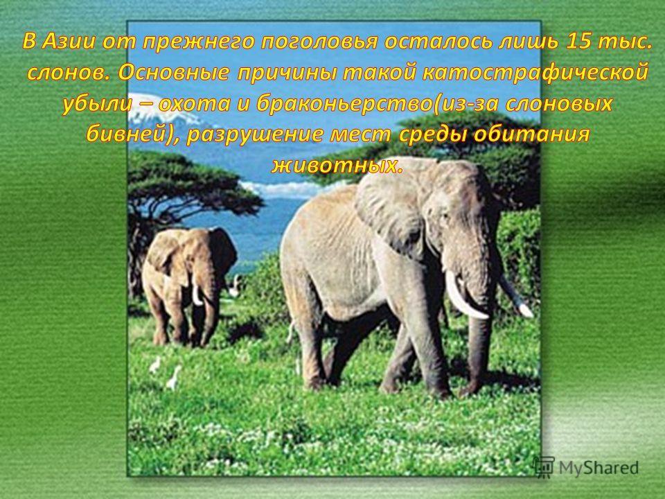 Африканский слон. В 1970 году в Африке насчитывалось примерно 5млн. Слонов, в 1980 году их осталось 1.3 млн., но затем и это количество сильно сократилось.