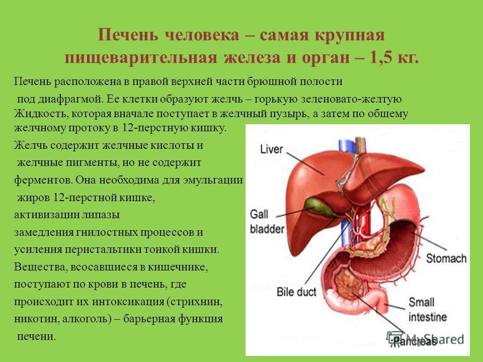 Печень человека – самая крупная пищеварительная железа и орган – 1,5 кг. Печень расположена в правой верхней части брюшной полости под диафрагмой. Ее клетки образуют желчь – горькую зеленовато-желтую Жидкость, которая вначале поступает в желчный пузы