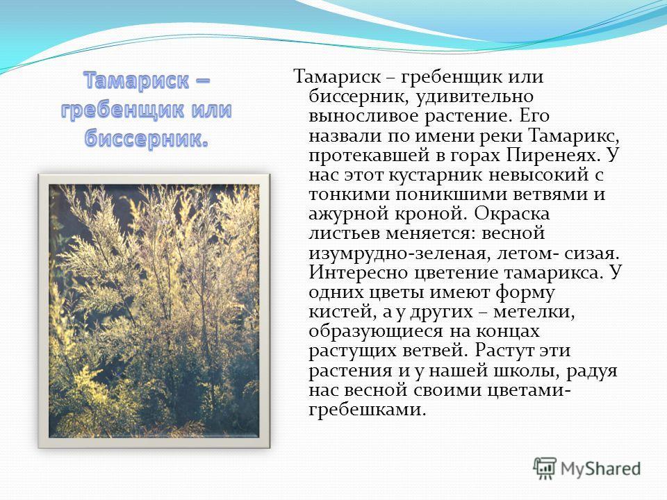 Тамариск – гребенщик или биссерник, удивительно выносливое растение. Его назвали по имени реки Тамарикс, протекавшей в горах Пиренеях. У нас этот кустарник невысокий с тонкими поникшими ветвями и ажурной кроной. Окраска листьев меняется: весной изумр