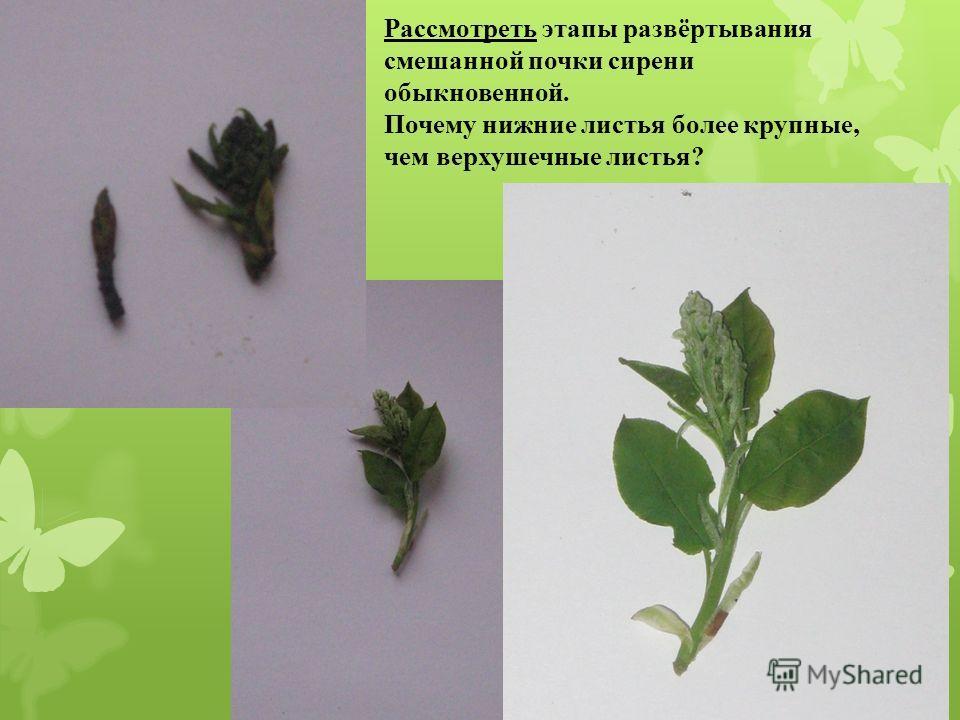 Рассмотреть этапы развёртывания смешанной почки сирени обыкновенной. Почему нижние листья более крупные, чем верхушечные листья?