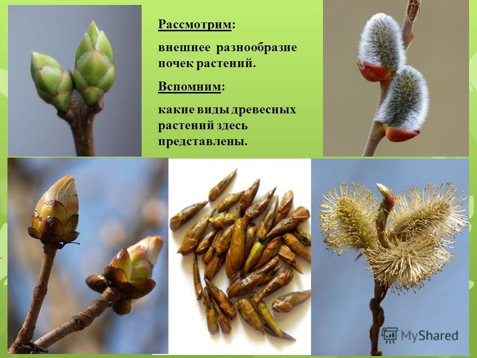 Рассмотрим: внешнее разнообразие почек растений. Вспомним: какие виды древесных растений здесь представлены.