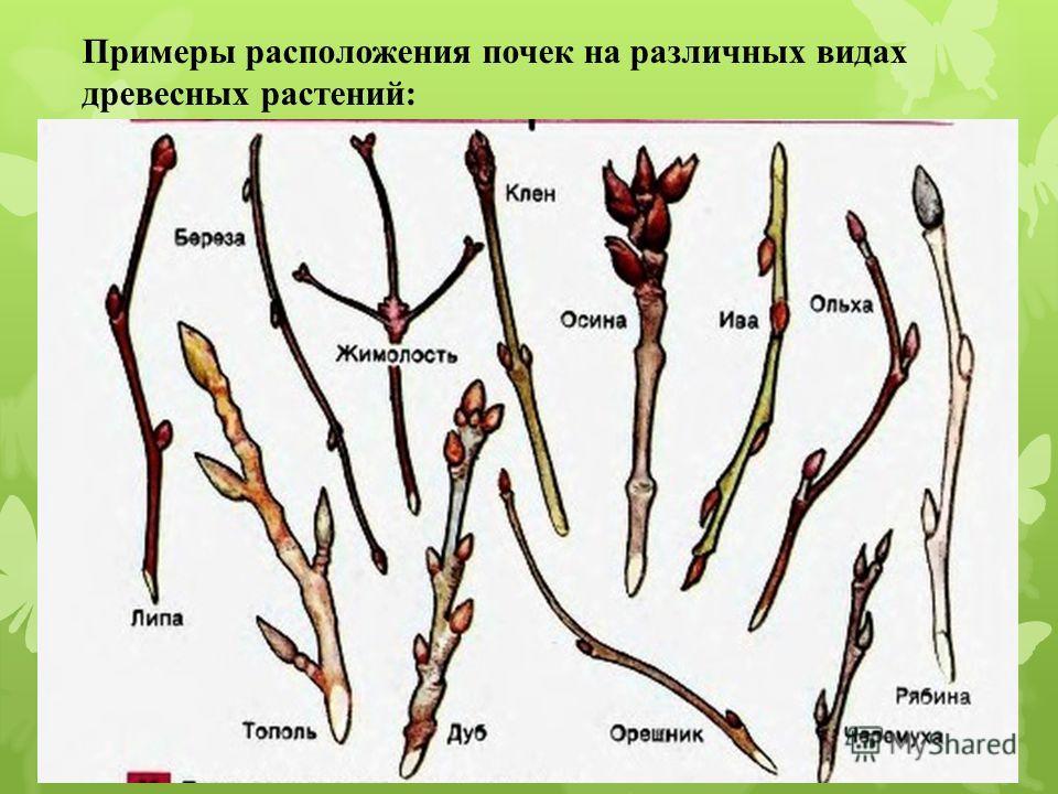 Примеры расположения почек на различных видах древесных растений: