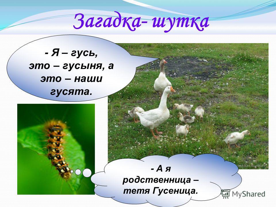 Загадка- шутка - Я – гусь, это – гусыня, а это – наши гусята. - А я родственница – тетя Гусеница.