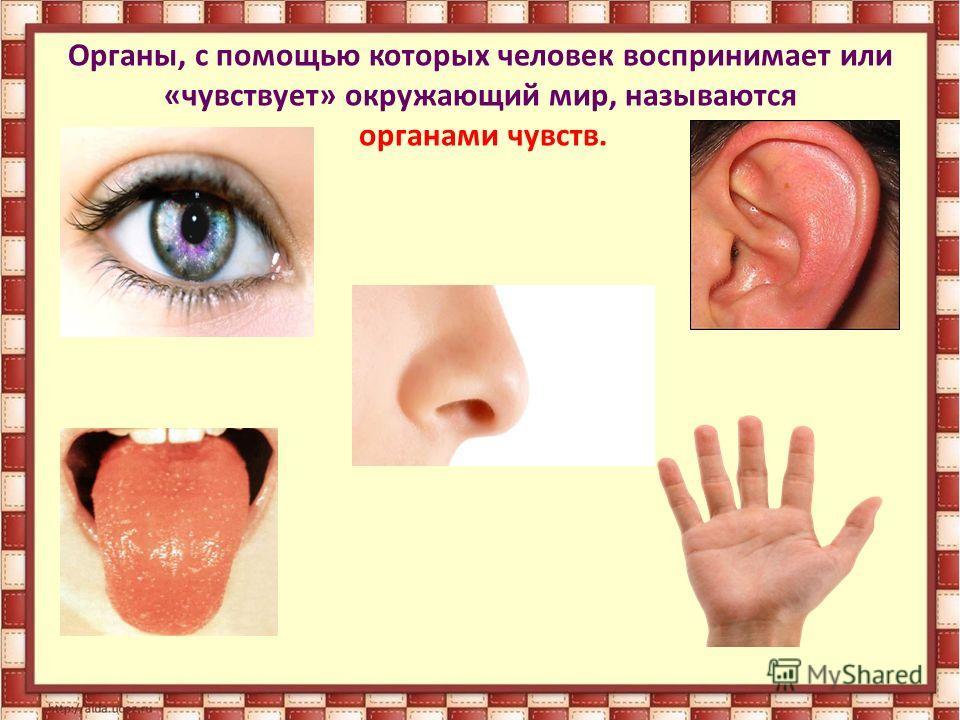Органы, с помощью которых человек воспринимает или «чувствует» окружающий мир, называются органами чувств.