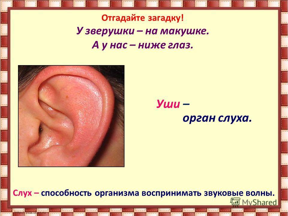 Отгадайте загадку! У зверушки – на макушке. А у нас – ниже глаз. Уши – орган слуха. Слух – способность организма воспринимать звуковые волны.
