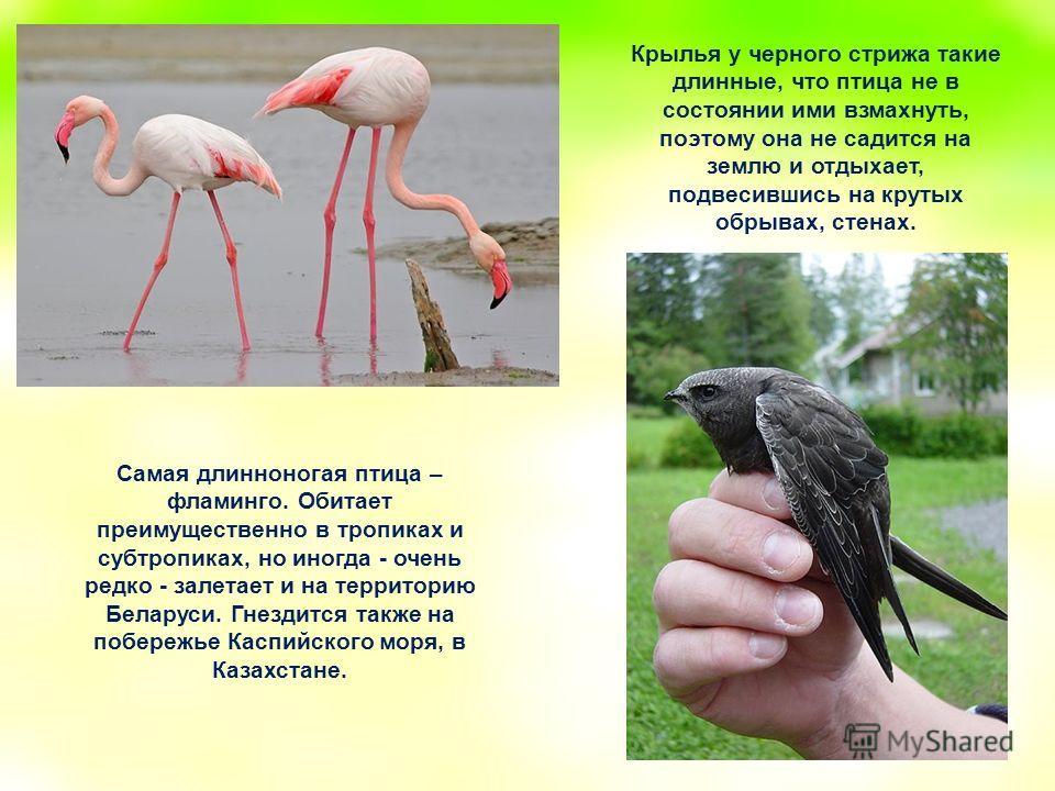 Самая длинноногая птица – фламинго. Обитает преимущественно в тропиках и субтропиках, но иногда - очень редко - залетает и на территорию Беларуси. Гнездится также на побережье Каспийского моря, в Казахстане. Крылья у черного стрижа такие длинные, что