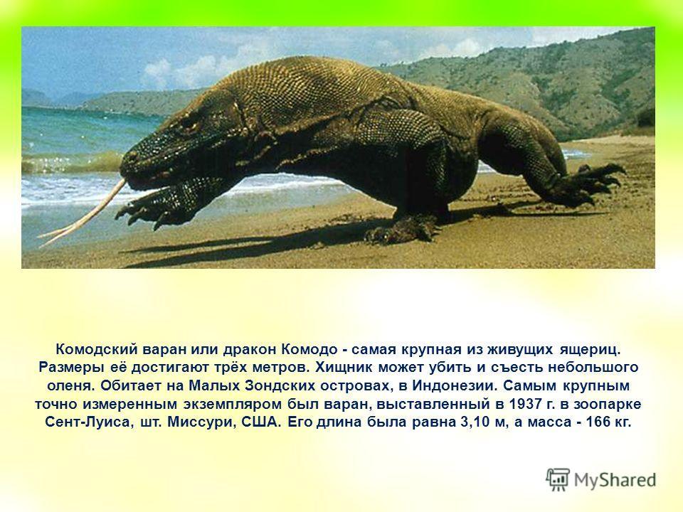Комодский варан или дракон Комодо - самая крупная из живущих ящериц. Размеры её достигают трёх метров. Хищник может убить и съесть небольшого оленя. Обитает на Малых Зондских островах, в Индонезии. Самым крупным точно измеренным экземпляром был варан