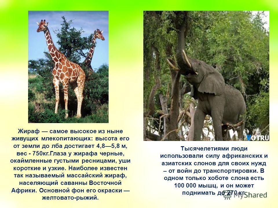 Тысячелетиями люди использовали силу африканских и азиатских слонов для своих нужд – от войн до транспортировки. В одном только хоботе слона есть 100 000 мышц, и он может поднимать до 270 кг. Жираф самое высокое из ныне живущих млекопитающих: высота