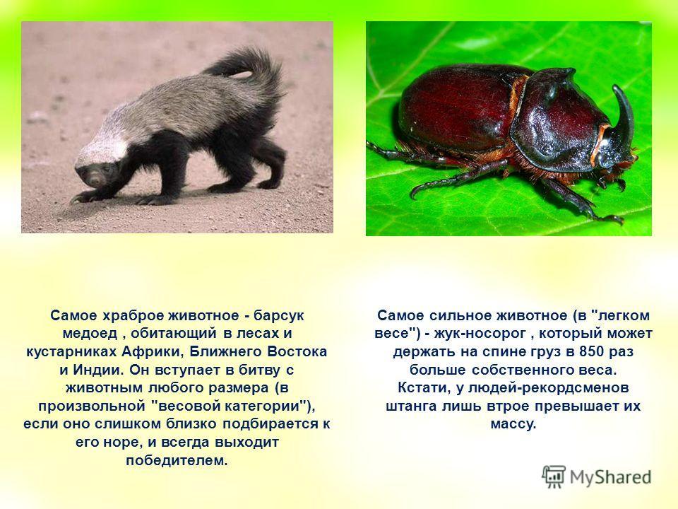 Самое храброе животное - барсук медоед, обитающий в лесах и кустарниках Африки, Ближнего Востока и Индии. Он вступает в битву с животным любого размера (в произвольной