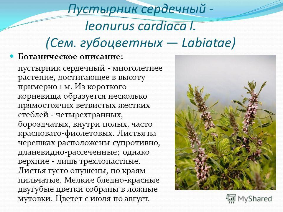 Пустырник сердечный - leonurus cardiaca l. (Сем. губоцветных Labiatae) Ботаническое описание: пустырник сердечный - многолетнее растение, достигающее в высоту примерно 1 м. Из короткого корневища образуется несколько прямостоячих ветвистых жестких ст