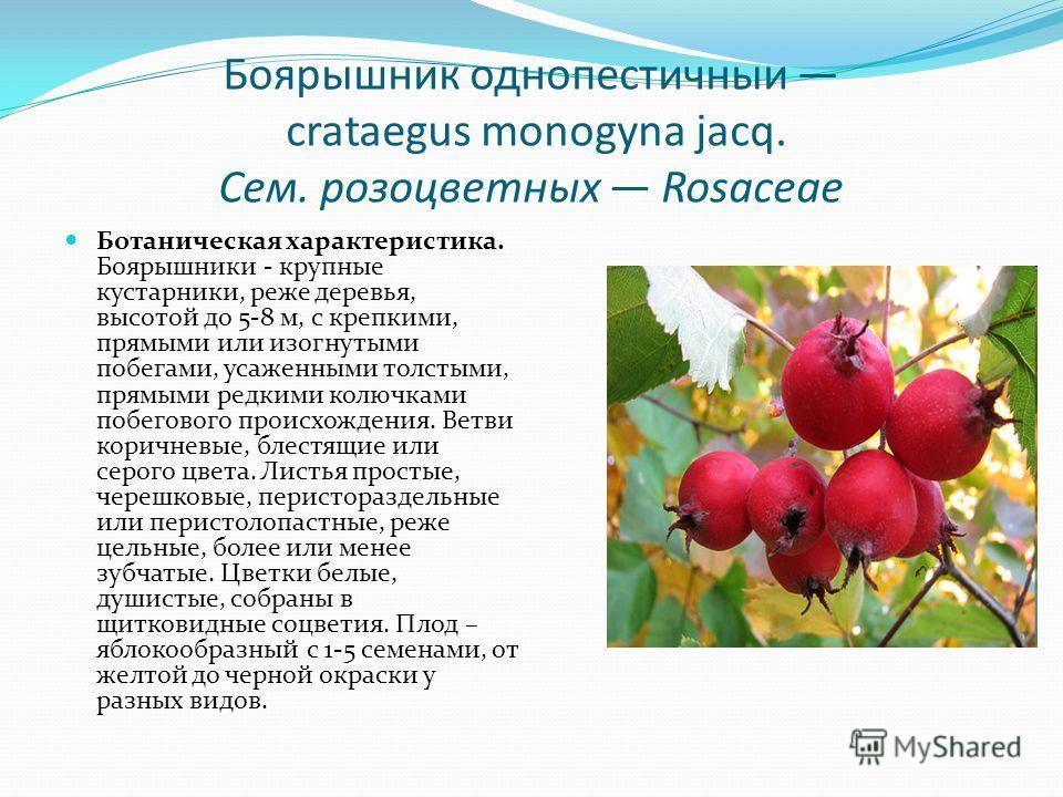 Боярышник однопестичныи crataegus monogyna jacq. Сем. розоцветных Rosaceae Ботаническая характеристика. Боярышники - крупные кустарники, реже деревья, высотой до 5-8 м, с крепкими, прямыми или изогнутыми побегами, усаженными толстыми, прямыми редкими